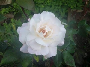 1st rose of the season