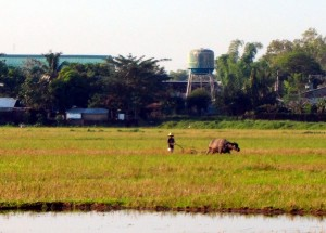 tending rice fields with carabao